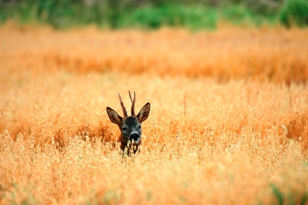 Low Ground (Roe Deer) - small web