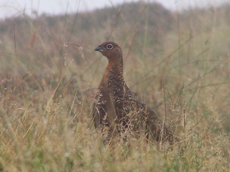 Grouse- small web